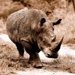 Yann Deshoulieres - Rhino